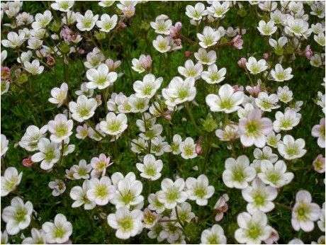 Камнеломка Арендса (Saxifrage х arendsii)
