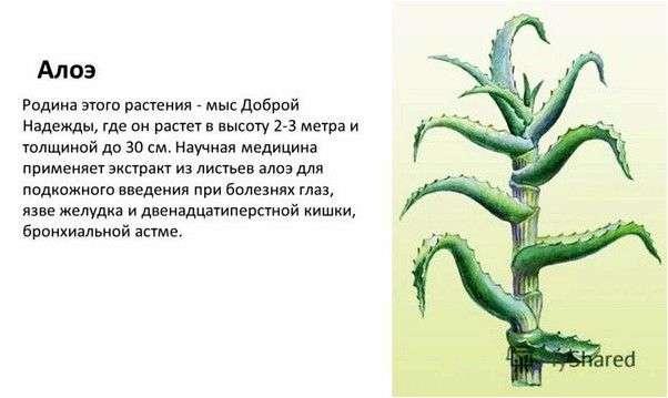 Лекарственные растения Алоэ