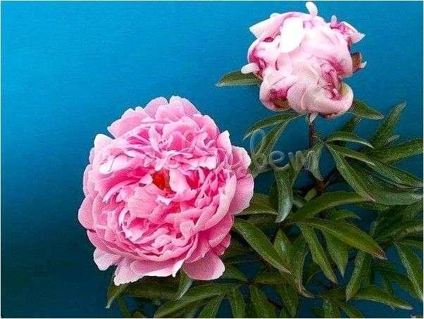 Пион молочноцветковый Мисс Экхарт (Paeonia lactiflora Miss Eckhart)