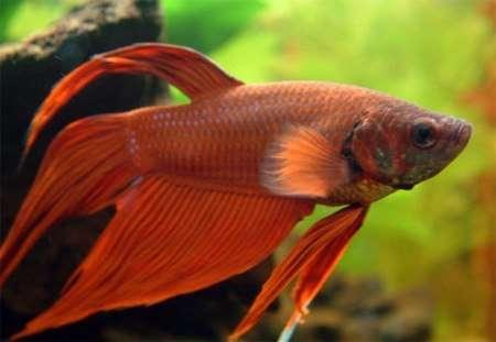Рыбка петушок / Бойцовая рыбка / Сиамский петушок / Betta Splendens